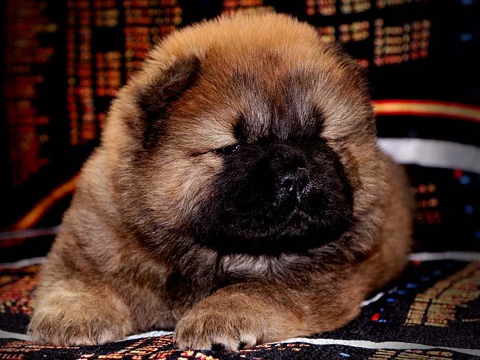一窝红色赛级冠军级松狮幼犬图片照片2
