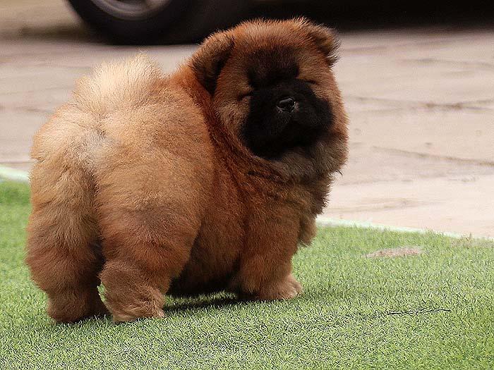一条松狮犬母犬幼犬图片松狮犬幼犬照片