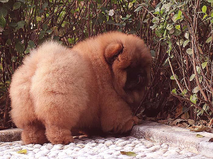 冠军级纯种美系松狮犬幼犬公图片