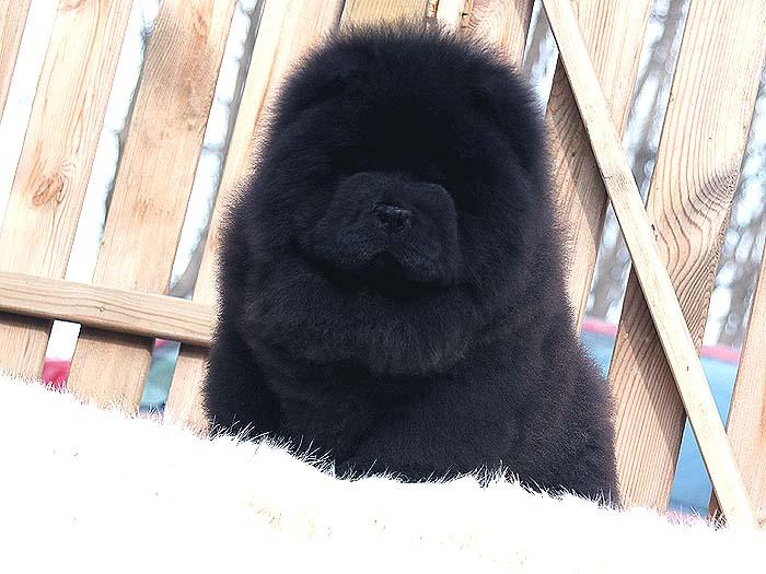 出售纯种松狮犬黑色松狮幼犬公犬价格出售松狮犬价格15800元