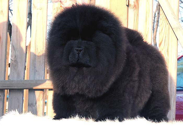 出售纯种松狮犬黑色松狮幼犬公犬价格出售松狮犬价格25800元