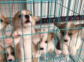云南昆明卖柯基犬昆明本地狗场常年卖柯基犬图片