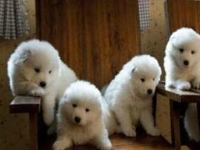云南景洪想买狗就来狗场挑选纯种萨摩耶幼犬图片