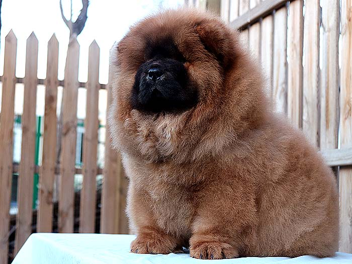 90天冠军级纯种松狮母犬纯正红色松狮出售松狮犬价格58800元