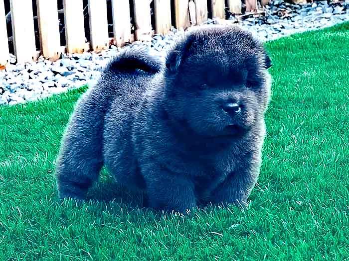 罕见纯种赛级蓝色短毛松狮幼犬公犬图片图片